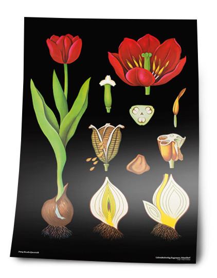Lehrtafel Tulpe, Sonderdruck