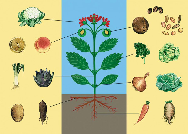 Lehrtafel Essbare Pflanzenteile, Gemüse