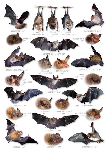Hagemann Bestimmungstafel Fledermäuse