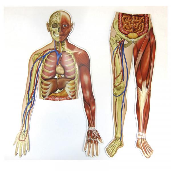 Menschlicher Körper (magnetisch)