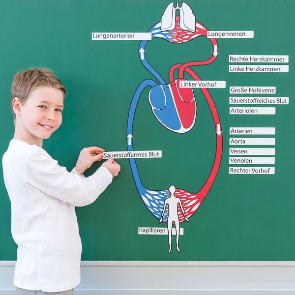 Der große Blutkreislauf (magnetisch)