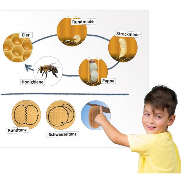 Lebenszyklus und Kommunikation der Honigbiene (magnetisch)
