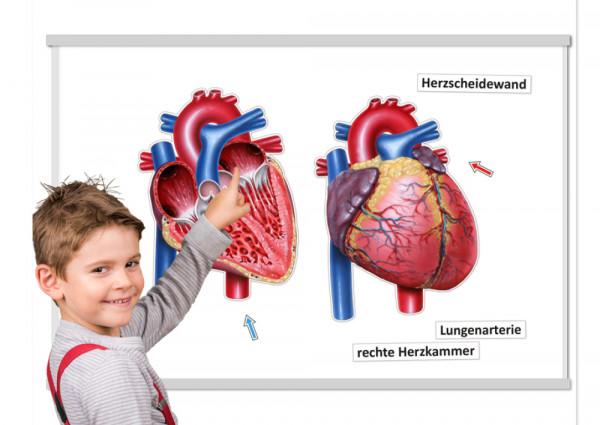 Das Herz von innen und außen (magnetisch)