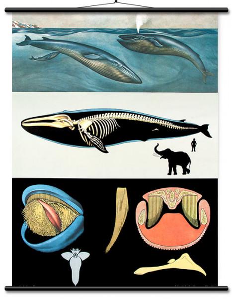 Lehrtafel Blauwal