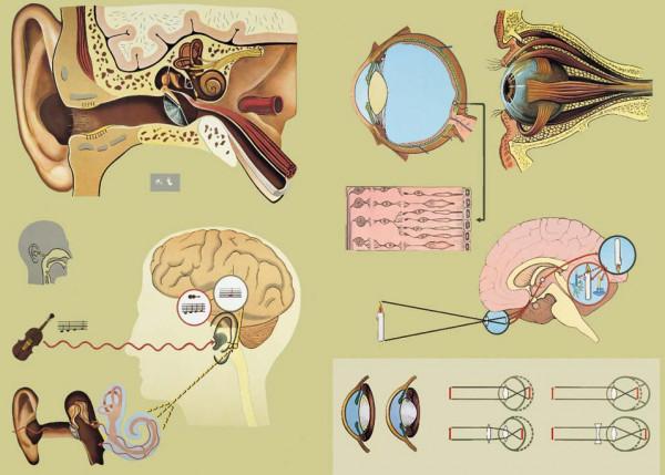 Lehrtafel Sinnesorgane: Ohr und Auge