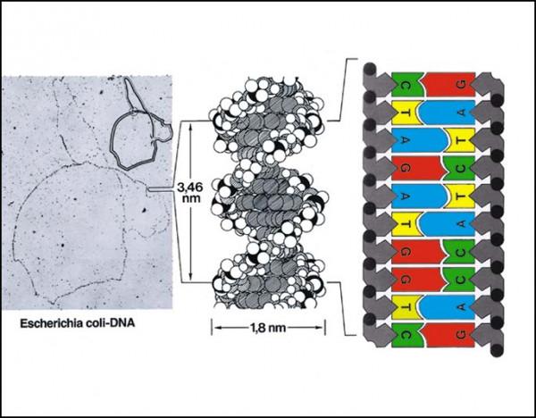 Transparente-Mappe Biochemie der Vererbung