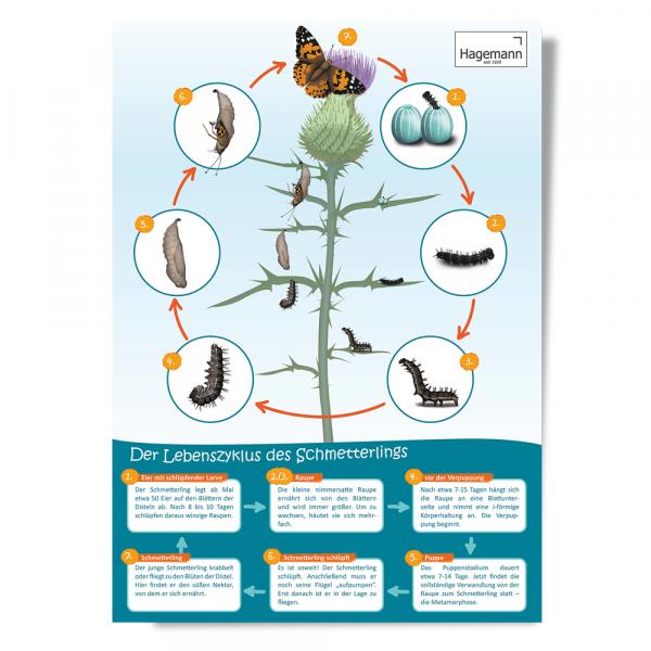 Lebenszyklus-Poster Schmetterling