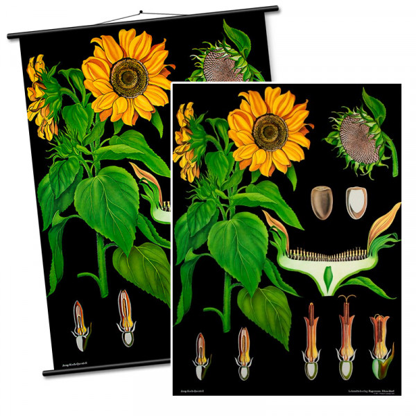 Lehrtafel Sonnenblume