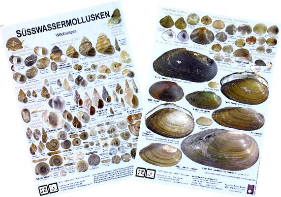 80352-suesswassermollusken_832FB3402B375E4DB4A69B72F9F594EA_-996346110_571x401