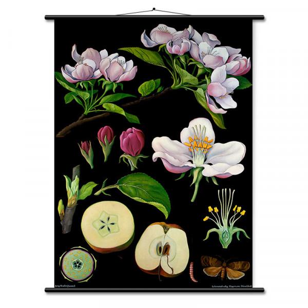Lehrtafel Apfelbaum
