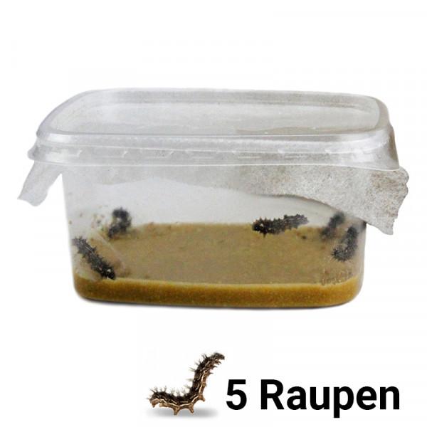 Hagemann Schmetterlings-Raupen, Nachbestellung (5 Raupen)