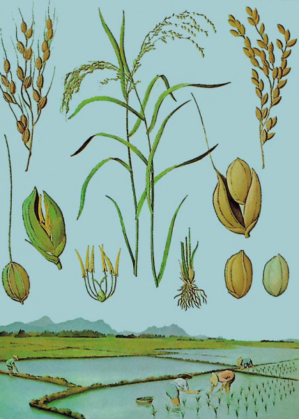 Lehrtafel Reis