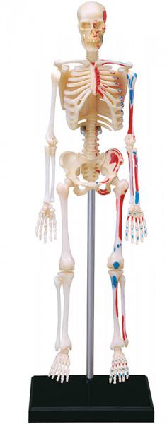 80184-Skelett_81AB2D1C4E74465DBF0F084CC577F9F4_-788394012_314x800