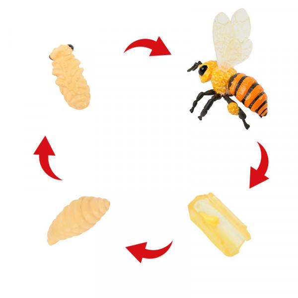Lebenszyklus der Honigbiene (Modelle)