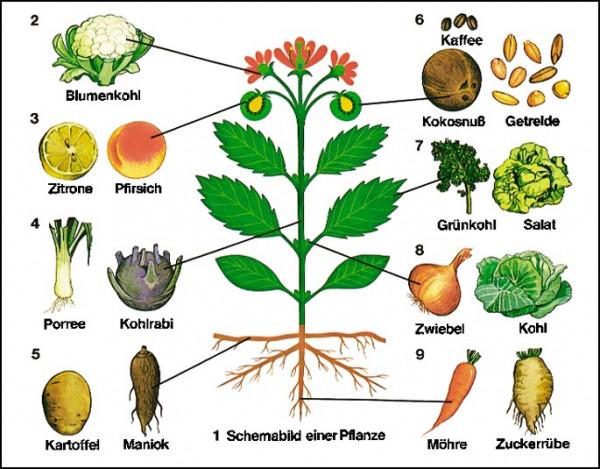 Transparente-Mappe Bau und Lebensvorg. Pflanzen