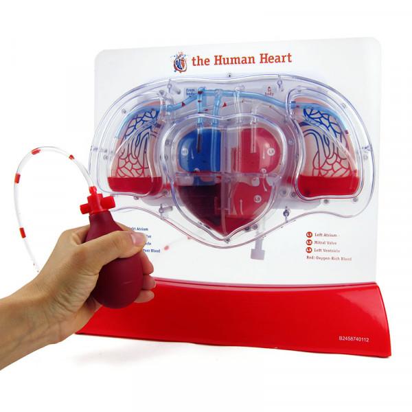 Herz-Kreislauf-Modell mit Blutfluss