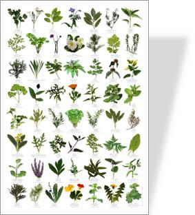Naturposter Kräuter und Wildkräuter