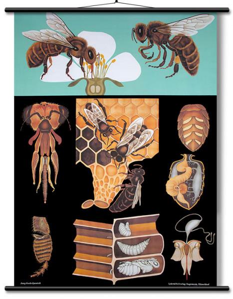 Lehrtafel Honigbiene