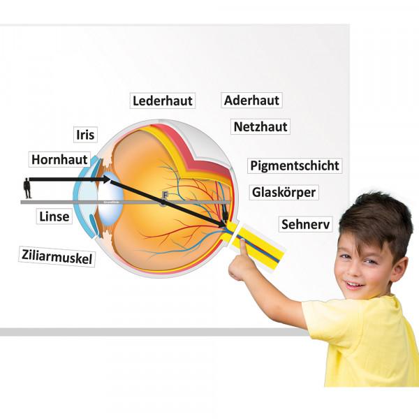 Auge und Sehvorgang (magnetisch)