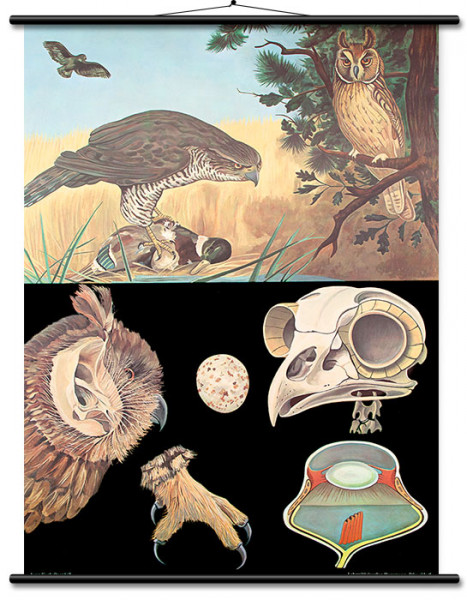 Lehrtafel Greif-/Raubvögel