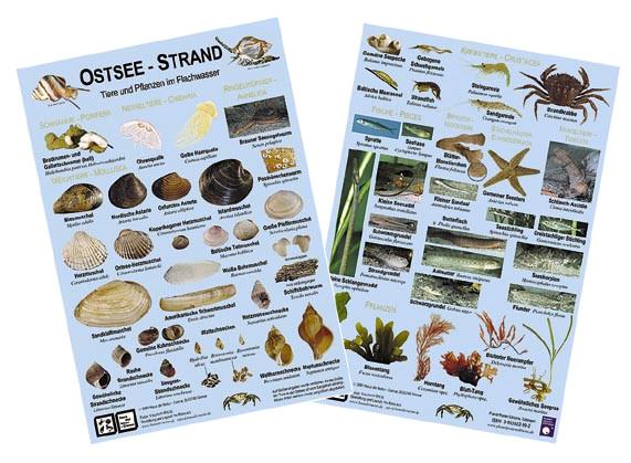 Ostsee-Strand: Tiere und Pflanzen im Flachwasser