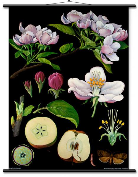 Lehrtafel Apfelbaum (klein)