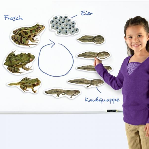 Lebenszyklus Frosch (magnetisch)