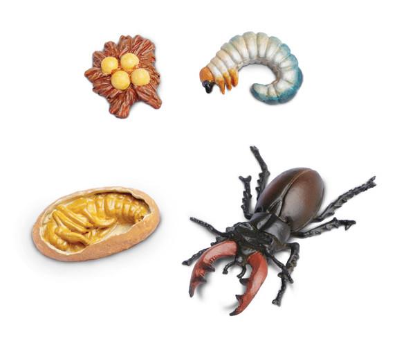 Lebenszyklus des Hirschkäfers (Modelle)