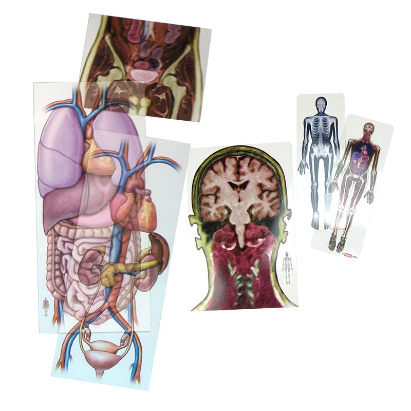 Fein Bild Der Anatomie Organe Ideen - Anatomie Ideen - finotti.info