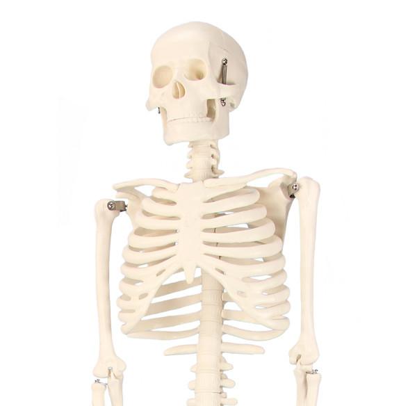 80627_Skelett-01_9462BBB4E35E4A2EAB37C2D4E5B604F0_-1380441282_600x584