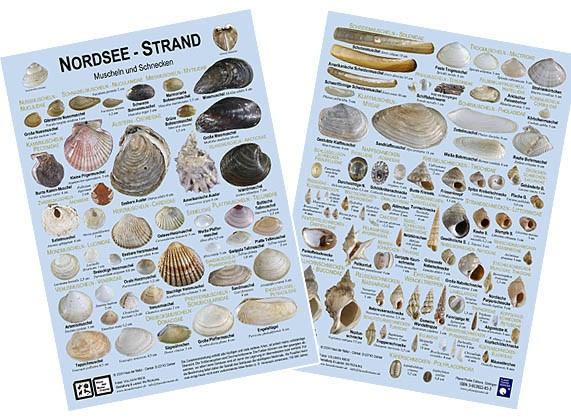 Nordseestrand: Muscheln und Schnecken
