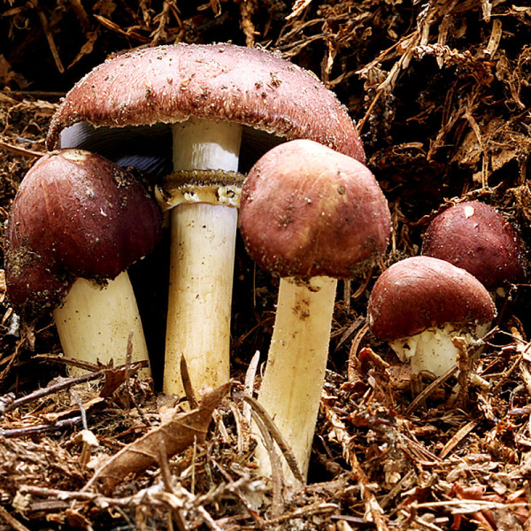 Hagemann Bio Pilz-Zuchtset Braunkappe